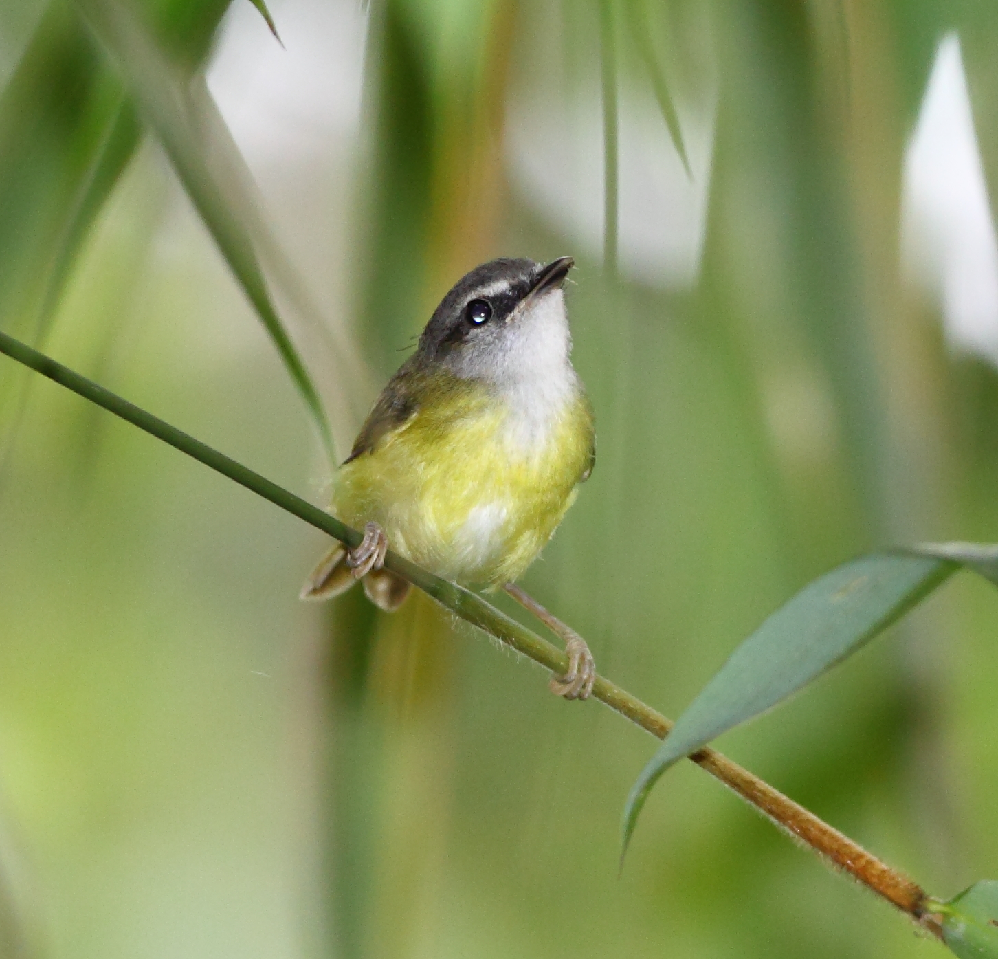 White Bellied Warbler Yellow-bellied Warbler